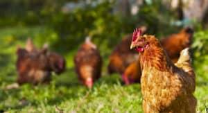 chicken-banner2jpg